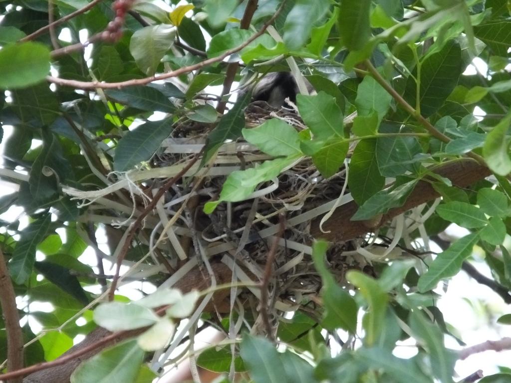 Blue Jay in Nest