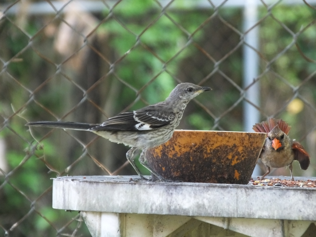 Mockingbird and Female Cardinal